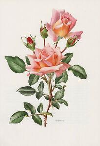 Rosa 'COMPASSION DE LONDRES' Kletterrose Rose Offset-Lithografie 1985 Trechslin