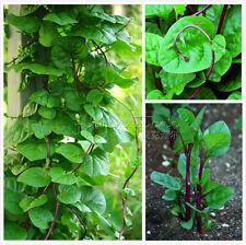 100 Green Malabar Spinach Vine Seeds Fast-growing TT343