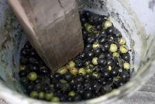 NEW! 7-seeds Diospyros-mollis--Ebony-tree-Very-RARE-Herb-and-Useful Thailand