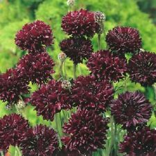 100 Cornflower Seeds Black Annual Seeds Bachelor Button Seeds