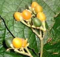 i! Samtpfirsich !i die Früchte enthalten viele Vitamin und Mineralstoffen !
