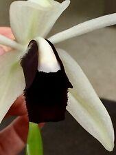 Coelogyne Black White Hybride NEW blühstark Orchidee Orchideen