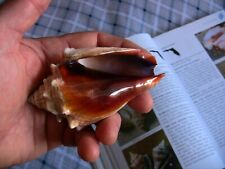 Beautiful Florida Fighting conch shell