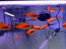3 Red Wag Swordtail Tropical Fish - Red Fish with Black Tail