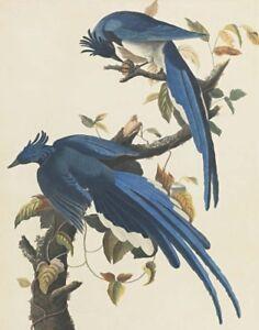 John James Audubon Columbia Jay Canvas Print 16 x 20    #3848