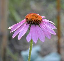ECHINACEA PURPUREA 30 semi seeds Echinacea Eastern purple coneflower