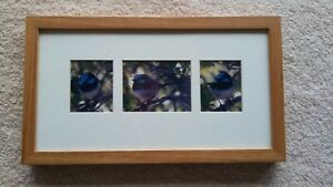 Wren-Australian Superb Blue Fairy Wren-Framed set of 3 Color Photo-Matted-Glass