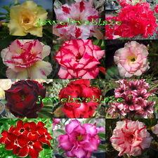 """Adenium Obesum Desert Rose """"Mixed"""" 12 Plants 12 Types!"""