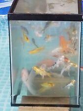 Live Koi Fish 1 Random 2-6 Inch Auction