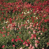 Kings Seeds - Helianthemum Crown Mixed (Rock Rose) - 300 Seeds