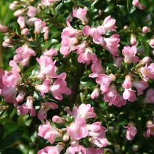 Escallonia-hybriden Apple blossom hardy flowering Hedging Plug Plant x 10