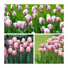 Ollioles Darwin Hybrid Tulips x 30 Bulbs.Beautiful Rose Colouring