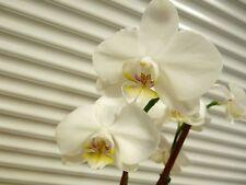 Orchid, Phalaenopsis, ' Yukidan Sogo ', South Florida Grown