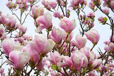5 LILY MAGNOLIA FLOWER TREE Pink & Purple Fragrant Tulip Magnol Liliiflora Seeds