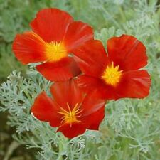 Poppy- Red Chief- 500 Seeds- 50 % off sale