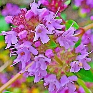 CREEPING THYME 4000 SEEDS PURPLE GROUNDCOVER LAWN HERB DROUGHT ARID PERENNIAL US