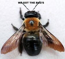 1 Real  Carpenter bee DRIED SPECIMEN INSECT TAXIDERMY WE GOT THE BUG'S