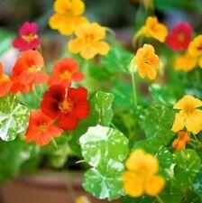 ALASKA NASTURTIUM Variegated Tropaeolum majus edible flowers plant in 100mm pot