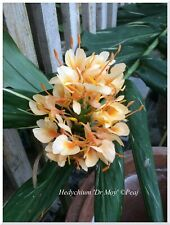 Hedychium Dr Moy- rustique - feuillage panaché -1 gros rhizome