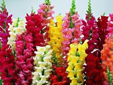 """Flower Seeds """"Snapdragon Mix"""" ( Approx 400 Seeds ) Beautiful Selection"""