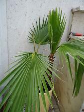4  Palmen - Samen  Washingtonia filifera und Geschenk