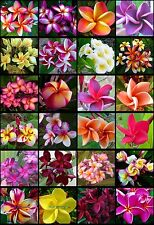 Plumeria Seeds/Flowers/Mixed 100 Seeds Rare!!!