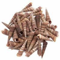 Turritella Sea Shells for DIY Crafts, Beach Decor (40 Count)