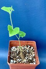 Apodanthera Sagittifolia In A 4� Pot,Seed Grown Cucurbit Caudiciform Plant,#1554