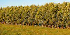 10 similar to Populus Nigra Italica Trees 3-4ft Quick Native Wind Break