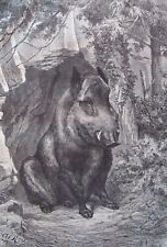 Wild boar.....wood engraving...1860s