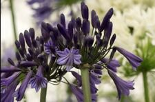 WOW Agapanthus 'Black Pantha' x 3 Large Plugs . UK National Collection Holders