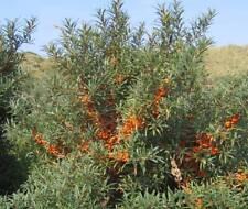 500 Samen Sanddorn, Hippophae rhamnoides / sehr gesund / Essbar!