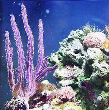 Purple Cactus Photosynthetic Gorgonian Live Frag Macro Algae Coral Saltwater