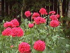 Peony- Poppy- Bombast Red- 100 Seeds