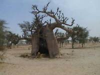 4 Semillas Baobab - ADANSONIA DIGITATA - Jardin Arbol Raro Bonsai