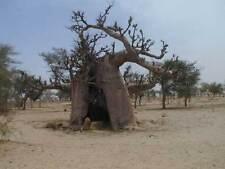 4 Semillas Baobab - ADANSONIA DIGITATA - Jardin Arbol Raro Bonsai - Samen Semi