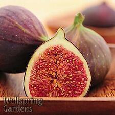 Hardy Fig Fruit Tree 'Magnolia' Live Plant aka Madonna, Dalmatia, Brunswick