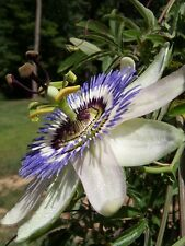USA-Passion Flower Seeds 100pcs Certified Pure Live True Seed