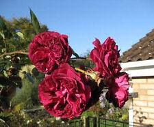 5 BURGUNDY CLIMBING ROSE Red Rosa Bush Vine Climber Fragrant Flower Seeds + Gift