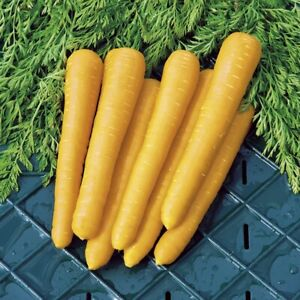 50 CARROT Gold Nugget F1 SEEDS YELLOW Free Postage Fast UK Depatch Grow Your Own