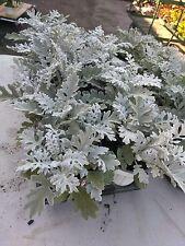 "DUSTY MILLER - SILVER  DUST - LIVE PLANT - 1.5"" larger Plugs - 6 PLANTS"