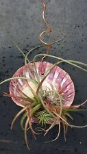 Bromeliad Tillandsia hanging in Giant Scallop sea shell Tropical Air Plant
