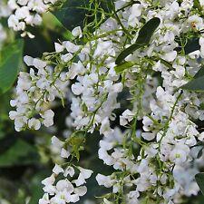 12 Samen weiß-grüne Korallenerbse - Hardenbergia violacea alba - Ranker - seeds