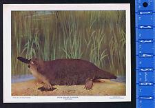 DUCK-BILLED PLATIPUS/PLATYPUS - 1899 Nature Print Plus BONUS