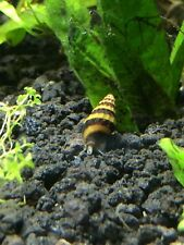 """6 Assassin Snails 1/2"""" - 3/4"""" (Clea Helena) Shipped with small plant clipping"""