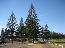 20 FRESH Norfolk Island Pine / Araucaria Heterophylla seeds