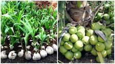 1 sprout Coconut Dwarf Palm tree (Cocos Nucifera) easy plant Harvest in 2 yrs