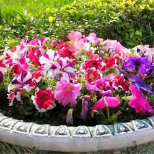 100pcs Mixed Colors Trailing Petunia Flower Seeds Dwaft Calibrachoa Home Garden