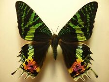 Real Butterfly/Moth/Insects Non Set B4152 Lge Urania ripheus Sunset Moth 8 -9 cm