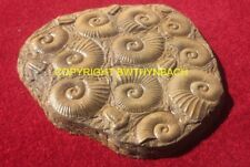 NEW LATEX MOULD MOULDS MOLD AMMONITE FOSSIL STEPPING STONE FIBREGLASS CASE